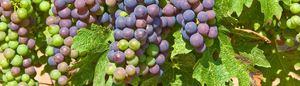 Grape art Oct