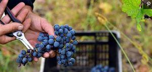 Grapes Harvest Hand Sissors